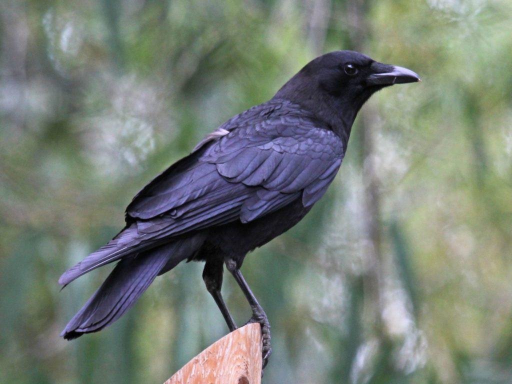 american_crow_sandiego_rwd
