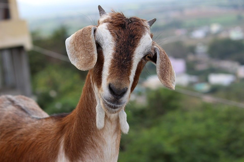 goat-2132113_960_720