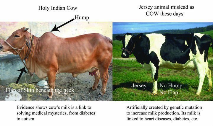 difference-between-india-cow-and-cross-breed-cows